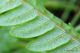 Photo of Virginia Chain Fern detail